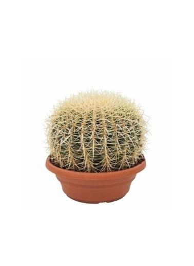 Çiçek Antalya Çiçek Antalya Kaktüs Cactus Echinocactus Grusonii Kaktüs Yeşil